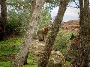 Monos macacos en el monte Gurugu